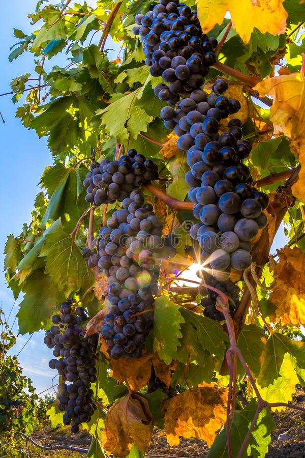 Vineyard. Plantation vineyard with ripe bunches of grapes, wineyard, europe, alcohol, industry, grapevine, leaf, tradition, travel, tourism, scenic, season stock image