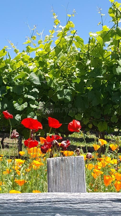 Vineyard Poppies royalty free stock image