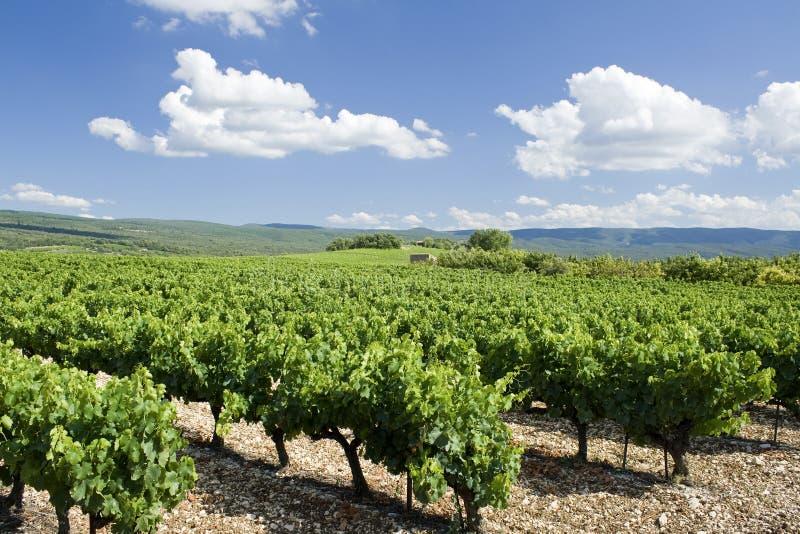 Vineyard. Provence. France. stock image