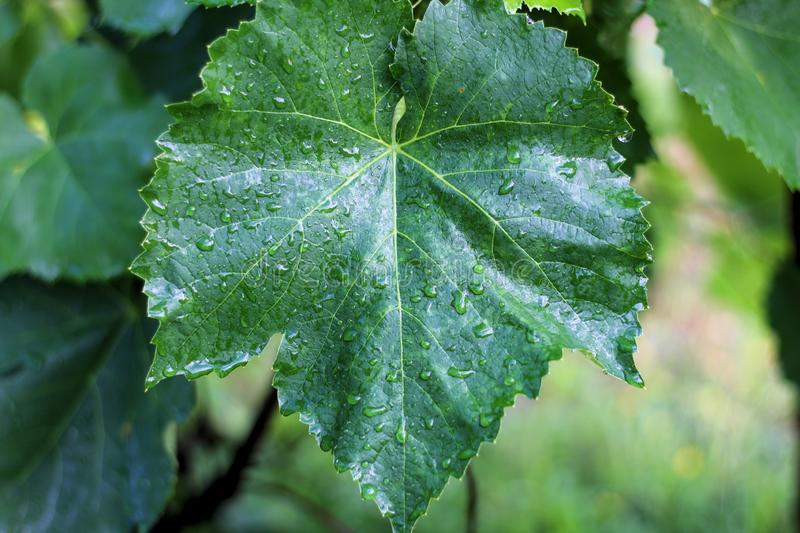 Vineyard after the rain. Close up grape leaves with water drops royalty free stock images