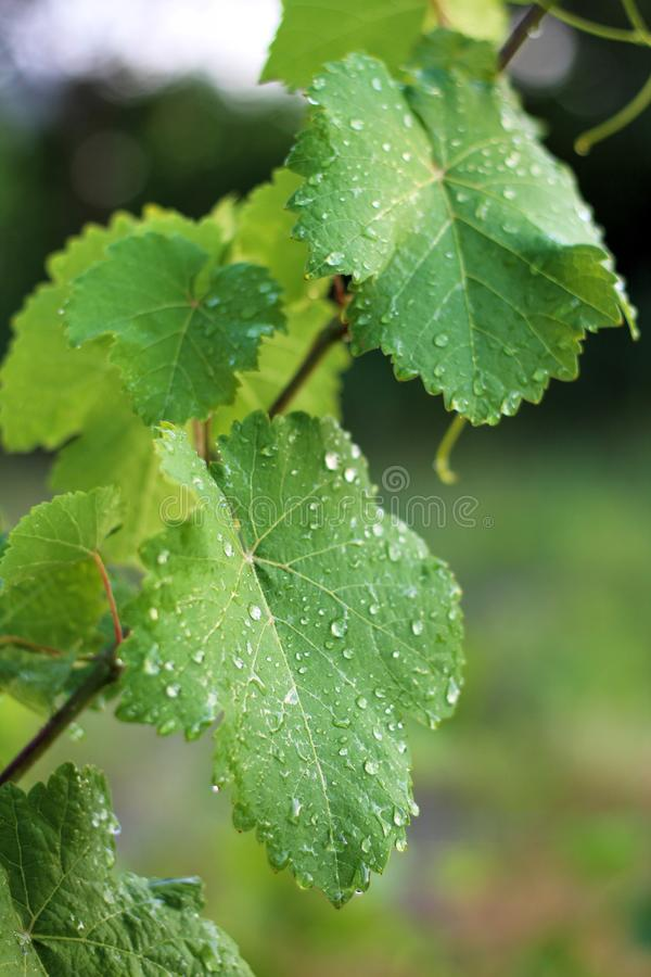 Vineyard after the rain. Close up grape leaves with water drops. Flora, growing, fall, harvest, leaf, single, nobody, sunlight, bunch, organic, farming stock image