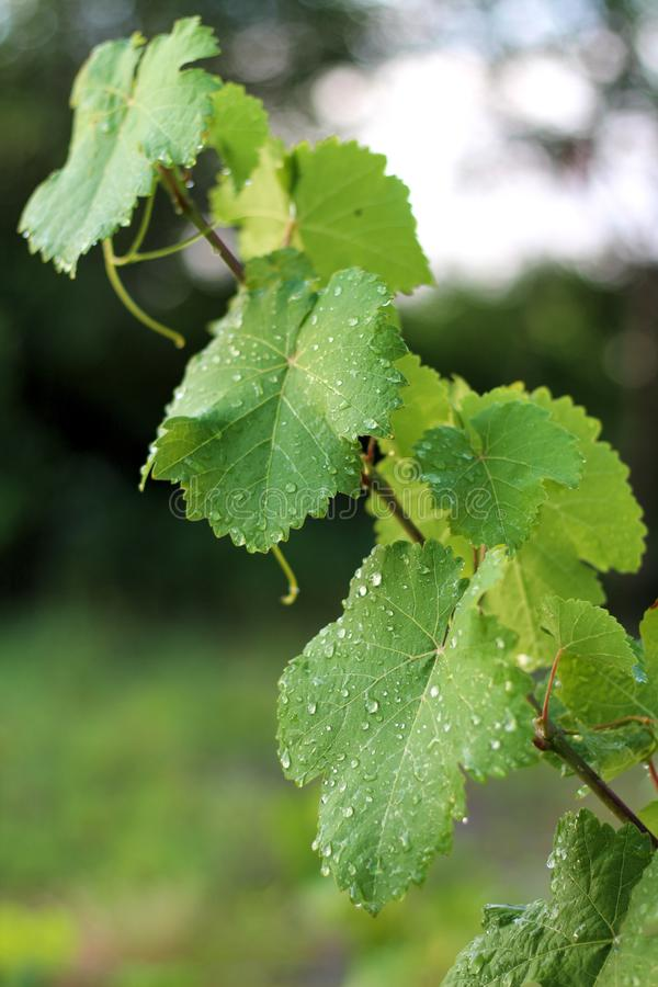 Vineyard after the rain. Close up grape leaves with water drops. Flora, grow, growing, fall, harvest, leaf, single, nobody, outdoor, sunlight, bunch, organic royalty free stock photo