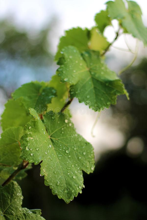 Vineyard after the rain. Close up grape leaves with water drops. Grow, growing, fall, harvest, leaf, single, nobody, outdoor, organic, farming, morning royalty free stock photos