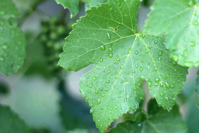 Vineyard after the rain. Close up grape leaves with water drops. Flora, growing, fall, harvest, single, nobody, outdoor, sunlight, organic, farming, grapevines royalty free stock photo