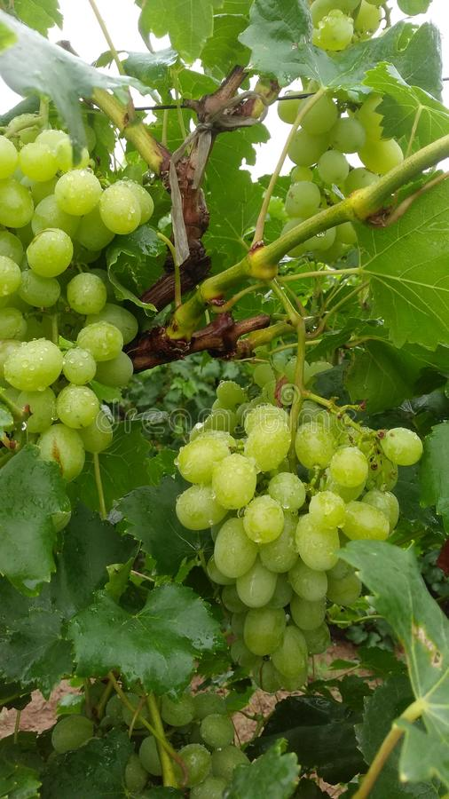 Vineyard after the rain grape royalty free stock images