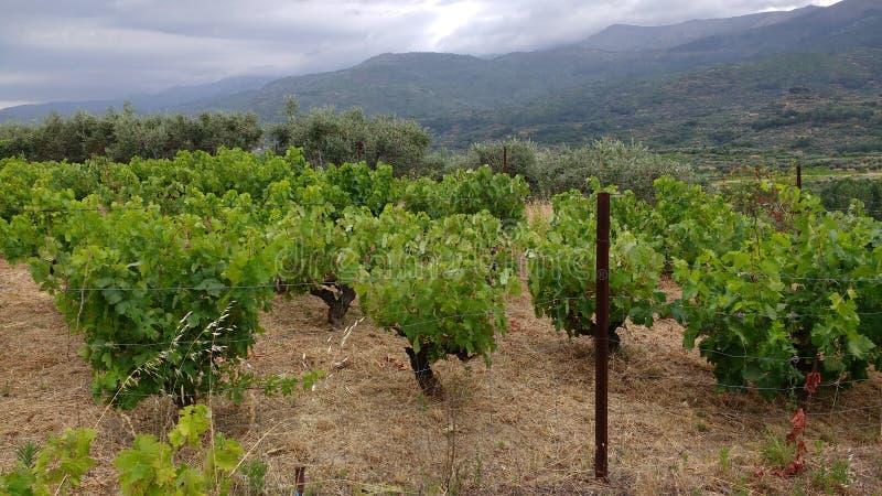 Vineyard on a rainy day stock photography