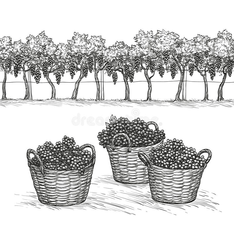 Vineyard and grapes in basket. Isolated on white background. Hand drawn vector illustration. Vineyard and branches and grapes in basket. Isolated on white vector illustration