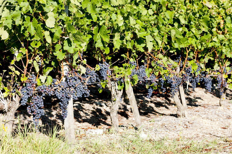 Download Vineyard with red grapes stock image. Image of flora - 22410749