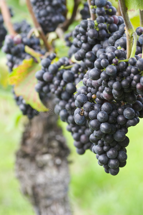Vineyard with red grapes royalty free stock photos
