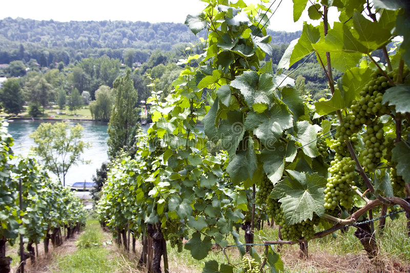 Vineyard At The Rhine River Stock Photos