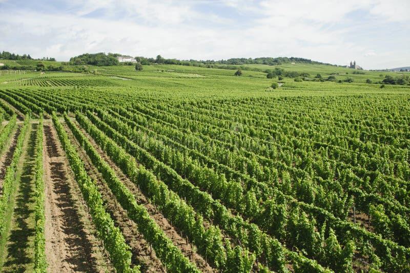 Download Vineyard In Rhine Valley,germany,europe. Stock Image - Image: 23776047