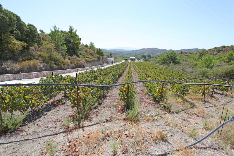 Vineyard in Rhodes island royalty free stock images