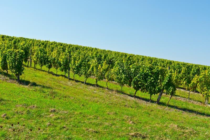 Download Vineyard stock photo. Image of harvest, europe, vine - 39809732