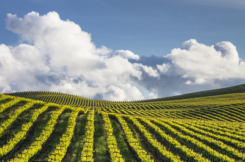 Rolling Vineyards. Vineyard on rolling hills with billowing clouds and blue sky in background royalty free stock photo