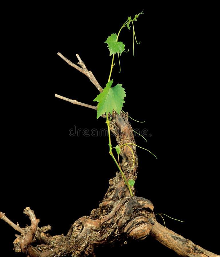 Vineyard root royalty free stock image