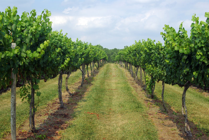 Vineyard Row Royalty Free Stock Images