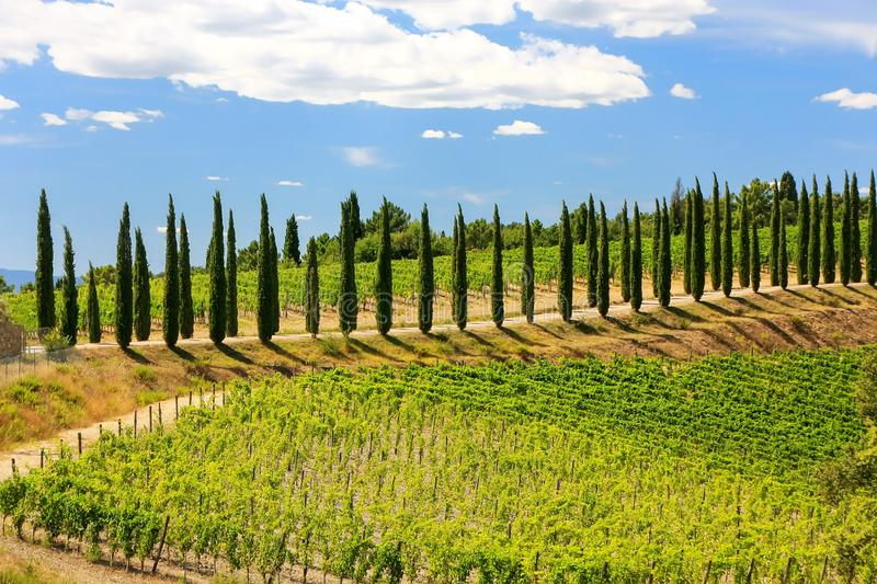 Vineyard with row of cypress trees in Val d`Orcia, Tuscany, Ital. Y. In 2004 the Val d'Orcia was added to the UNESCO list of World Heritage Sites royalty free stock images