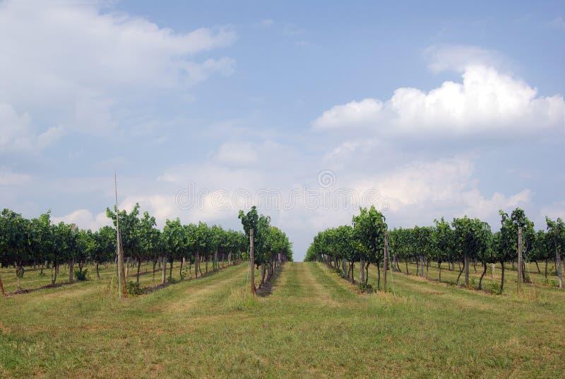 Download Vineyard Rows stock photo. Image of grape, plant, vine - 7077874