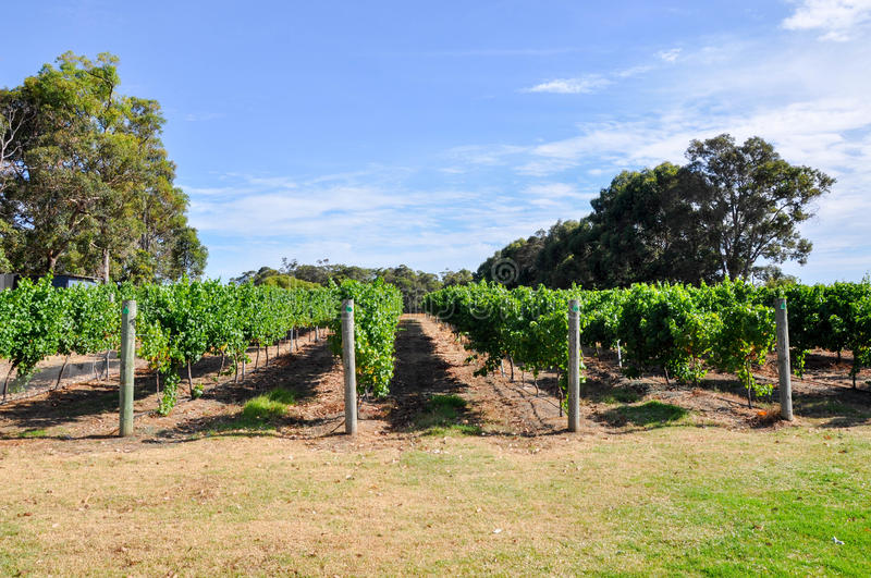 Vineyard Rows. Rows of grape growing vines with a green leaf canopy in the Margaret River Region of Western Australia stock photos
