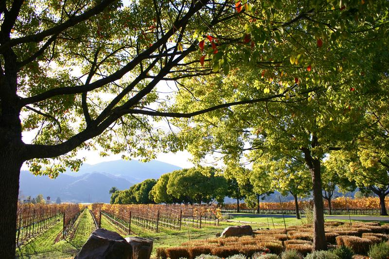 Vineyard and Rows of Grapes with Trees and Mountains in Napa Valley Wine Country California royalty free stock image
