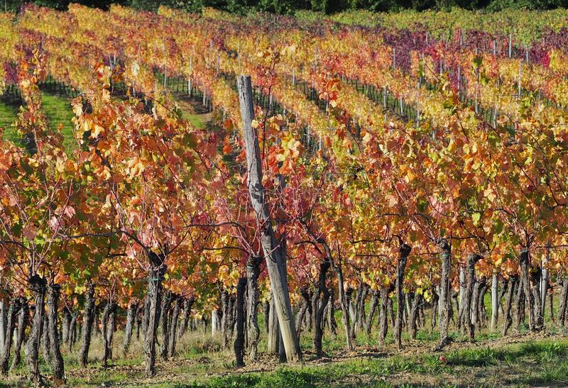 Vineyard rows with shades of autumn colors, from red to green in a sunny day. Background stock image