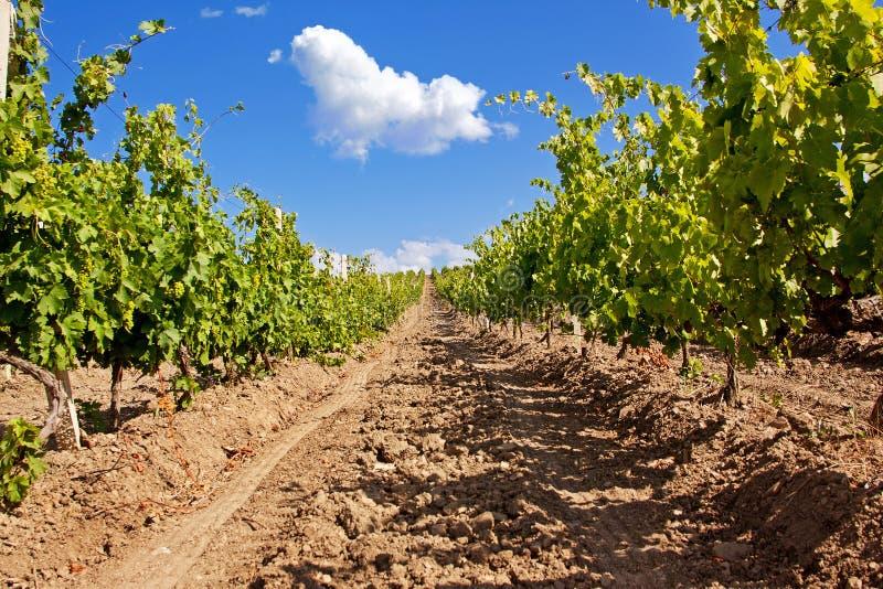 Vineyard royalty free stock photography