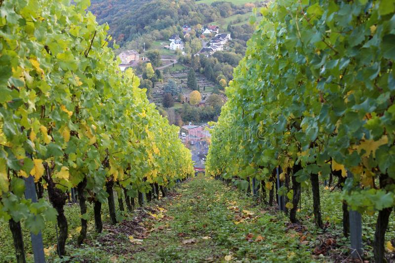 Vineyard in Saarburg, Germany. View from the hill with rows of grapes plants on the town of Saarburg. October, autumn, green and yellow leaves stock photo