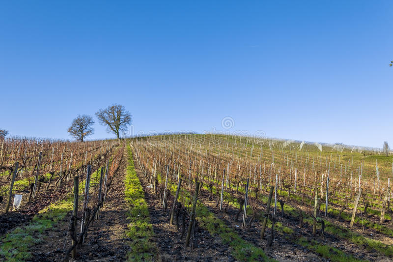 Vineyard Saint Genes de Lombaud Bordeaux France stock photography