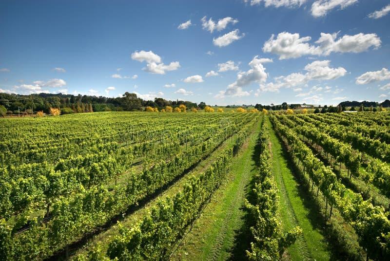 Vineyard Scene royalty free stock image