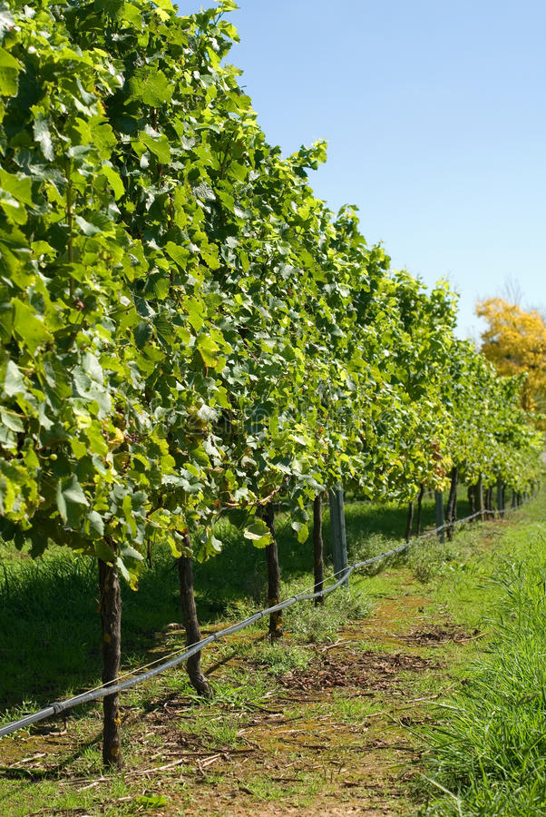 Download Vineyard Scene stock image. Image of agriculture, plants - 23885327