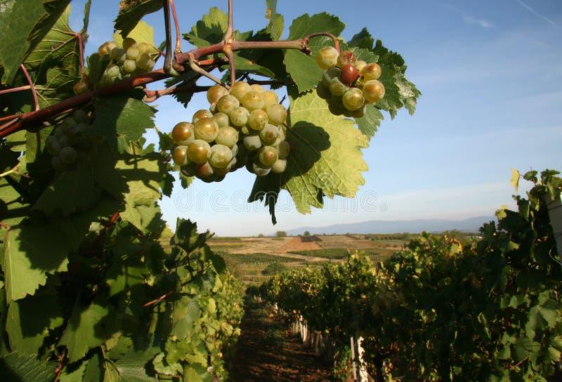 Vineyard In Serbia Royalty Free Stock Image