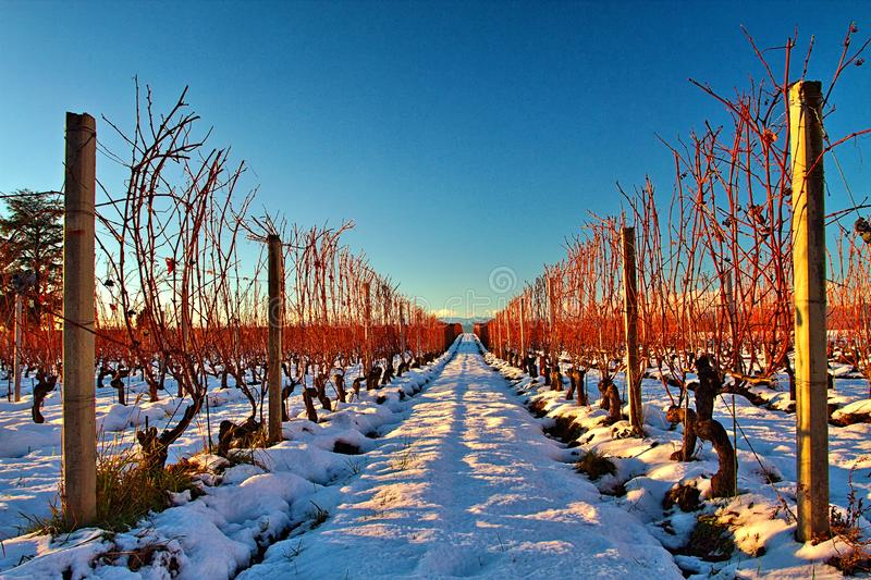 Vineyard in the snow royalty free stock image