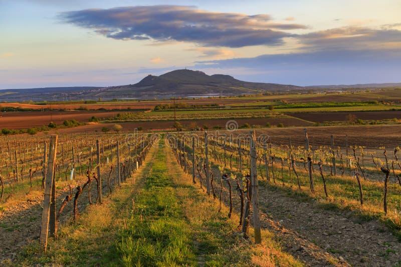 Vineyard Sonberk and Palava hills, Moravia Południowa, Czechy zdjęcie stock