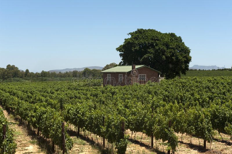 Vineyard in South Africa royalty free stock photo