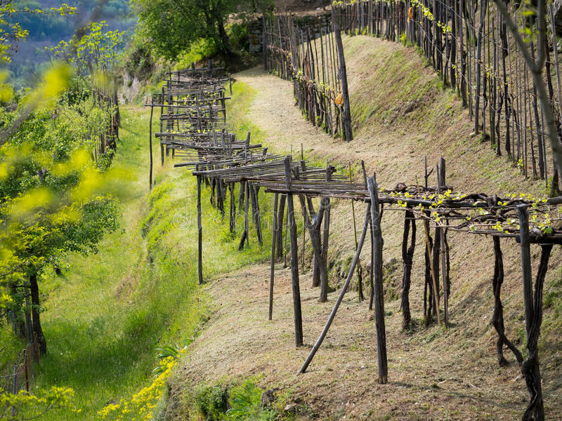 Vineyard in spring, Italy. Traditional agriculture and pruning method. On hillside royalty free stock photo