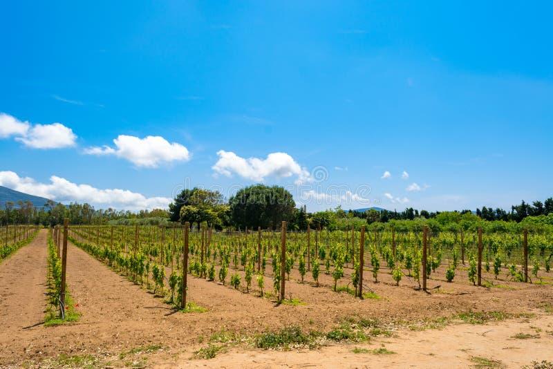 vineyard in spring stock image