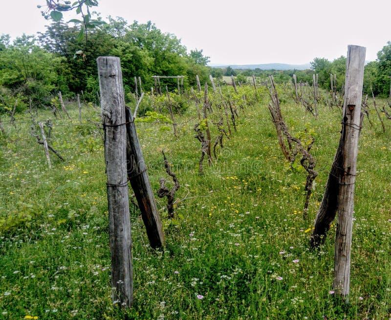 Vineyard in the grass stock photos