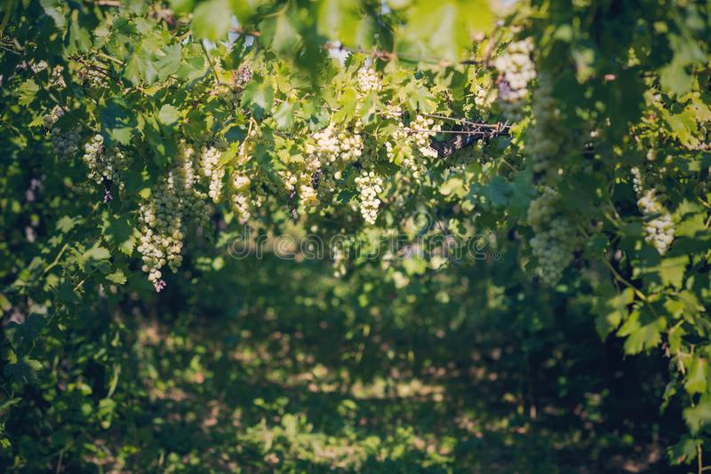 Vineyard in summer. Close up of bunch of grapes and vines royalty free stock photography