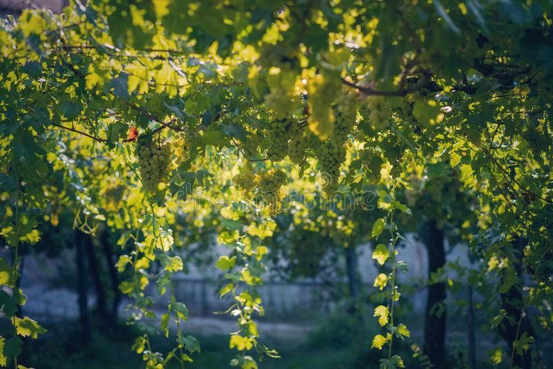 Vineyard in summer. Close up of bunch of grapes and vines stock images