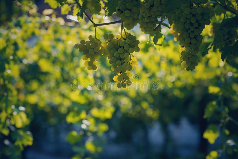 Vineyard in summer. Close up of bunch of grapes and vines stock photos