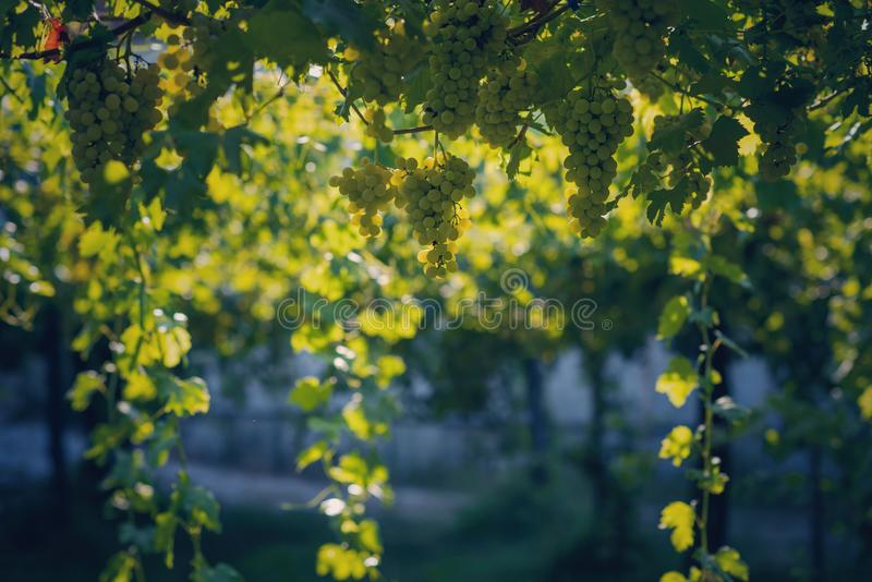 Vineyard in summer. Close up of bunch of grapes and vines stock photography