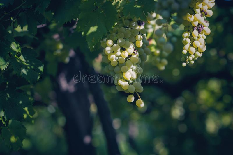 Vineyard in summer. Close up of bunch of grapes and vines stock photo