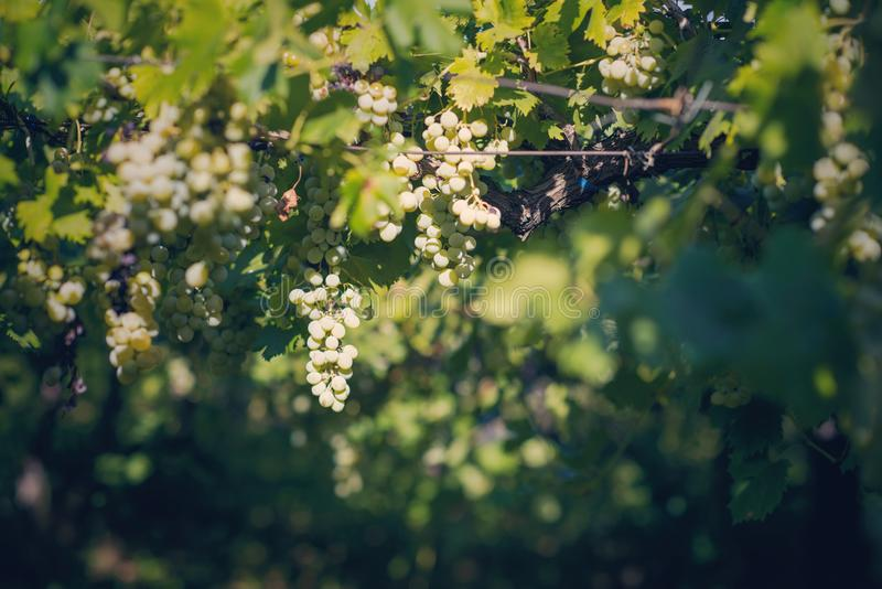 Vineyard in summer. Close up of bunch of grapes and vines royalty free stock image