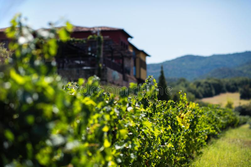 Vineyard in summer. Close up of bunch of grapes and vines royalty free stock photo