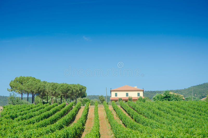 Download Vineyard on a  summer day stock image. Image of italy - 25734383