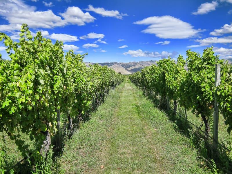Vineyard in Summer stock photo
