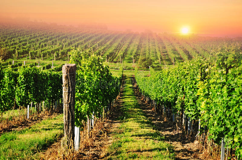 Download Vineyard sun sunset stock image. Image of hills, rural - 25447209