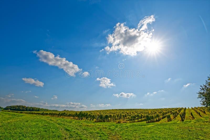 Vineyard at sunny day stock photos