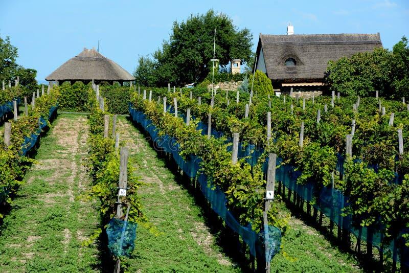 Vineyard on a sunny summer day at Balaton royalty free stock photos