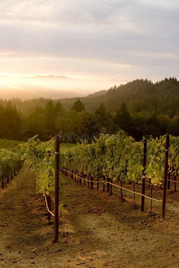 Download Vineyard Sunset stock photo. Image of drink, beauty, fruit - 1968530